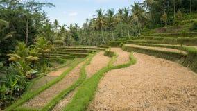 Gisements de riz près de Pura Gunung Kawi Photographie stock