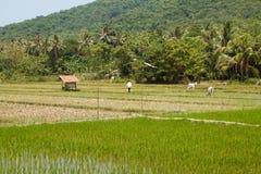 Gisements de riz s'élevant en île de Java images libres de droits