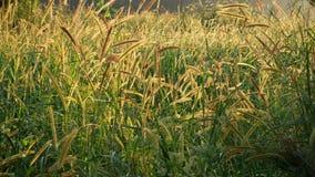 Gisements de roseaux soufflés par le vent avec la lumière chaude d'or au coucher du soleil, à l'herbe de fleur et au vent clips vidéos