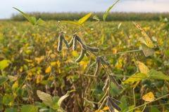 Gisements de soja Photos libres de droits