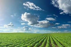 Gisements de soja au jour ensoleillé idyllique Image libre de droits
