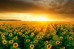 Gisements de tournesol pendant le coucher du soleil Image stock