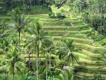 Gisements en terrasse de riz dans Bali Photos libres de droits