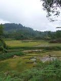 Gisements et buffle de riz en Tana Toraja Sulawesi Photo stock