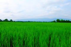 Gisements et ciel de riz Photographie stock