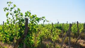 Gisements et flancs de coteau de raisin sur l'horizon Images stock