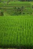 Gisements et palmiers de riz en île de Bali photographie stock