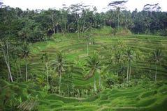 Gisements et palmiers de riz en île de Bali photographie stock libre de droits