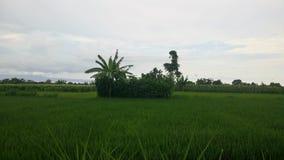 Gisements exotiques de riz images stock