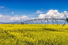 Gisements jaunes de graine de colza de Canola en fleur images libres de droits