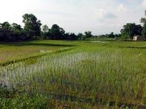 Gisements plats de riz dans Chitwan, Népal du sud Photos stock