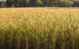 Gisements verts de riz de paysage Images libres de droits