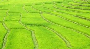 Gisements verts de riz de terrasse photo libre de droits