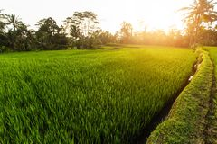 Gisements verts de riz en île de Bali, Indonésie nature photo libre de droits