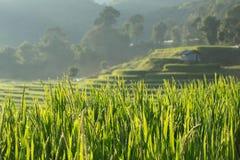 Gisements verts de riz non-décortiqué d'agriculture Images stock