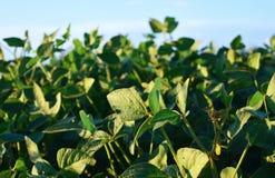 Gisements verts de soja d'eco Extérieur et champ Image libre de droits