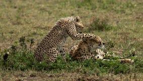 Gissning som gepard royaltyfria bilder