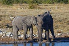 Gissning vem? Elefanter som spelar lekar arkivfoto