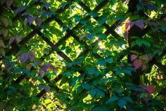 Gitterarbeit und grüne Blätter von Virginia-Kriechpflanze Stockbild