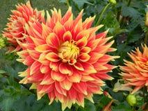 Gitts szacuneku Dalia kwiaty Zdjęcia Royalty Free