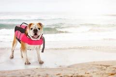 Giubbotto di salvataggio d'uso del cane sulla spiaggia Fotografia Stock Libera da Diritti
