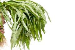 Giudicando ipomea cinese di verdure sull'isolante bianco del fondo Fotografia Stock