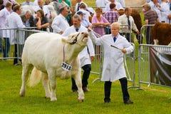 Giudizio dei tori del charolais alla manifestazione di lingua gallese reale Fotografie Stock Libere da Diritti