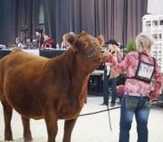 Giudizio del bestiame Fotografie Stock