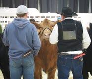 Giudizio del bestiame Immagini Stock Libere da Diritti