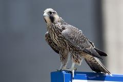 Giugno 2017 Windsor, sul Canada - Peregrine Falcon giovanile Immagini Stock Libere da Diritti