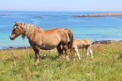 Giumenta bretone di tratto ed il suo puledro in un campo in Bretagna Fotografia Stock Libera da Diritti