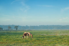 Giumenta con il puledro che pasce sul pascolo nella mattina nebbiosa Immagini Stock