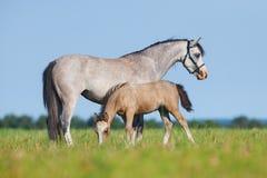 Giumenta con il puledro nel campo Cavalli che mangiano erba fuori Fotografia Stock Libera da Diritti
