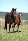 Giumenta del cavallino ceco di sport con il suo puledro Fotografia Stock Libera da Diritti