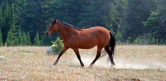 Giumenta del cavallo selvaggio della baia sulla cresta di Sykes nella gamma del cavallo selvaggio delle montagne di Pryor nel Mon Fotografie Stock Libere da Diritti