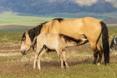 Giumenta del cavallo selvaggio e puledro sveglio di estate Fotografia Stock
