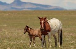 Giumenta del cavallo selvaggio e puledro sveglio nell'Utah Immagine Stock Libera da Diritti