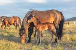 Giumenta del cavallo selvaggio ed il suo puledro nell'Utah Fotografia Stock Libera da Diritti