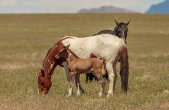Giumenta del cavallo selvaggio ed il suo puledro sveglio Fotografia Stock