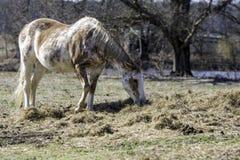 Giumenta del pinto che mangia fieno sulla terra fotografie stock libere da diritti