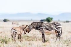 Giumenta della zebra di montagna con il puledro fotografie stock