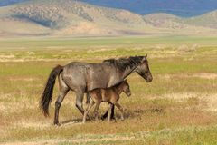 Giumenta e puledro del cavallo selvaggio Fotografie Stock