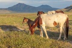 Giumenta e puledro del cavallo selvaggio nell'Utah Immagine Stock