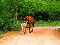 Giumenta ed il suo passeando del filhote immagini stock