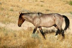 Giumenta selvaggia del mustang nel deserto del Nevada Fotografia Stock