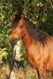 Giumenta splendida del cavallino con la capezza piacevole di manifestazione Fotografia Stock