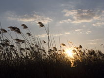 Giunco al tramonto Fotografia Stock