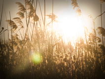 Giunco al tramonto Immagine Stock