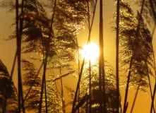 Giunco sul tramonto Fotografia Stock Libera da Diritti