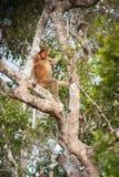 Giungla del Borneo, foresta pluviale in Tanjung che mette il Kalimantan Indonesia del parco nazionale immagini stock